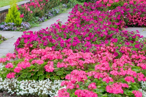 Hot vivid pink colors in the flower garden